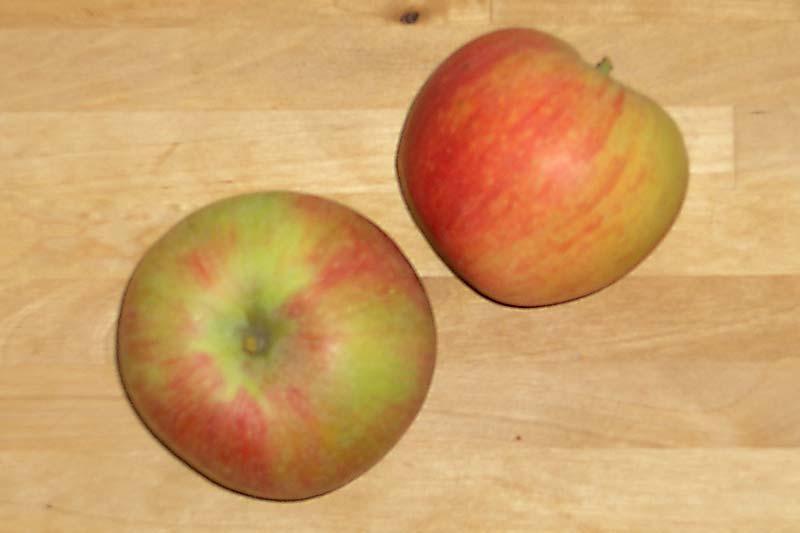 Apfelsorte Alkmene