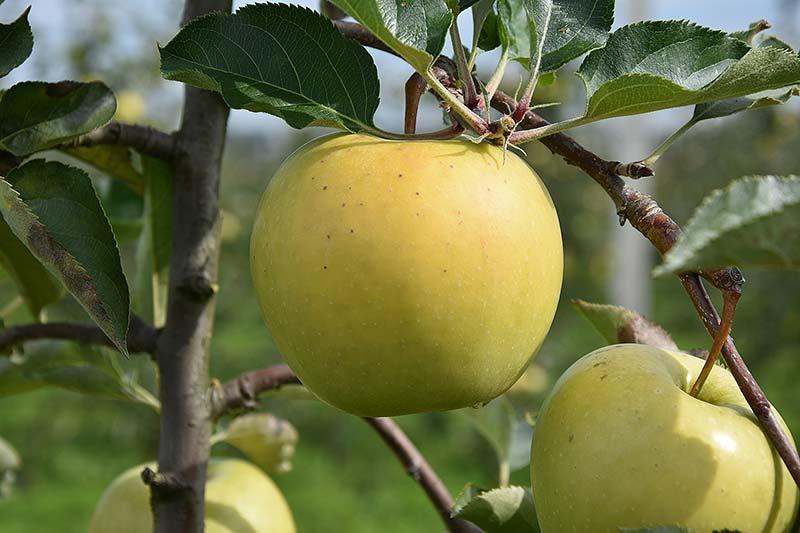 Apfelsorte Sirius