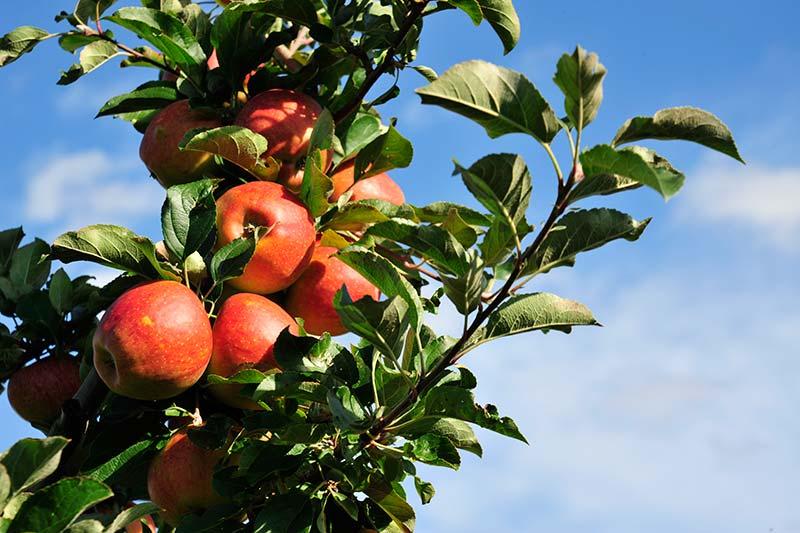 OberGut, Obst, Apfel